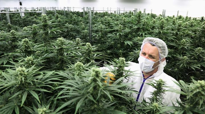 вакансії в індустрії вирощування канабісу