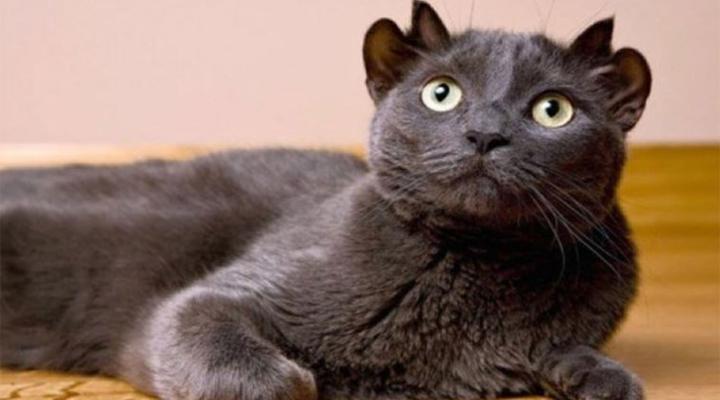 необычная кошка с 4-мя ушами