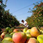 У польських садах уже нікому яблука збирати
