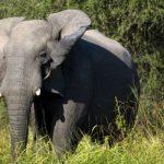 У них были клыки более ста слонов. Банда браконьеров задержана