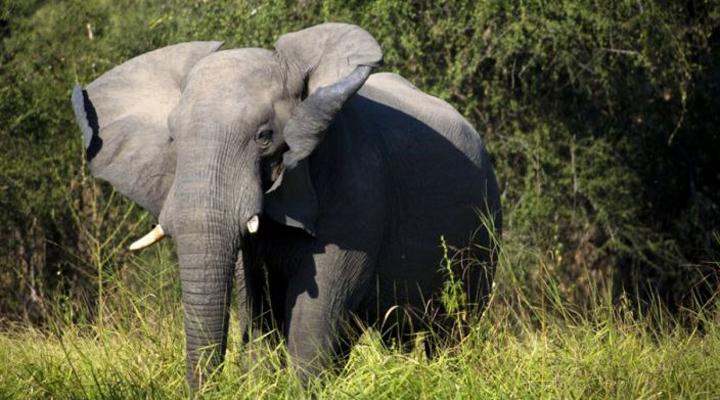 кількість слонів катастрофічно скорочується