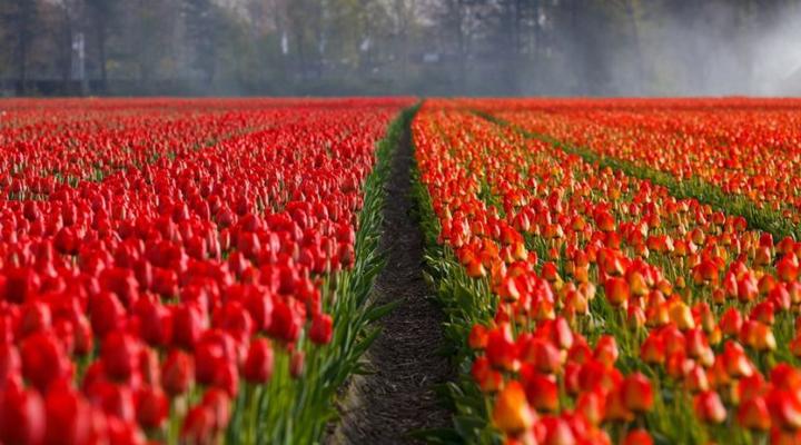 Тюльпаны - один из символов Нидерландов