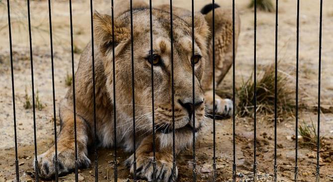 «Четыре лапы» спасут проблемных львов в суданском зоопарке