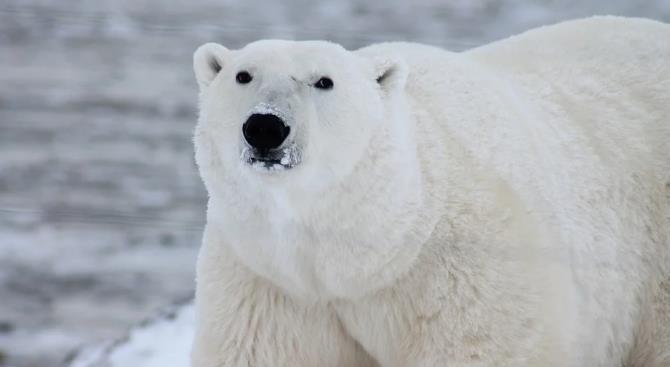 Белые медведи на русском севере начали уничтожать самих себя