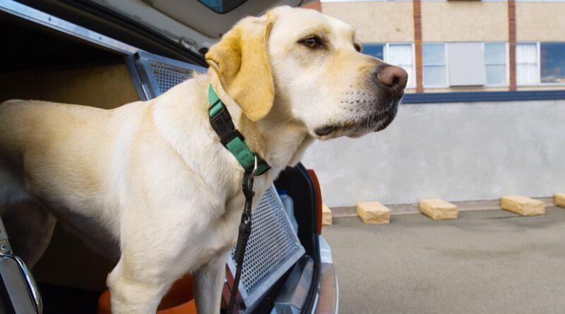 ученые проверяют, смогут ли собаки диагностировать COVID-19