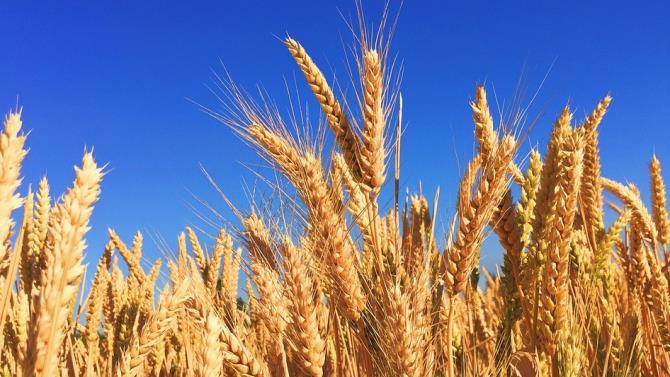 производство пшеницы в Румынии в этом году значительно сократится