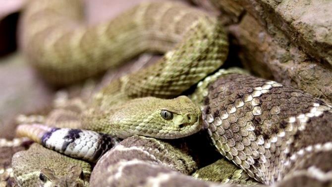 чоловік убив свою дружину за допомогою змій