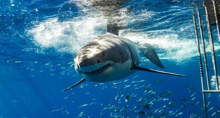 акула кружляла навколо плавця