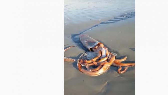 величезний кальмар був викинутий з моря