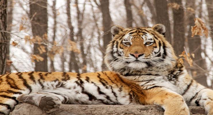 тигр убив охоронця