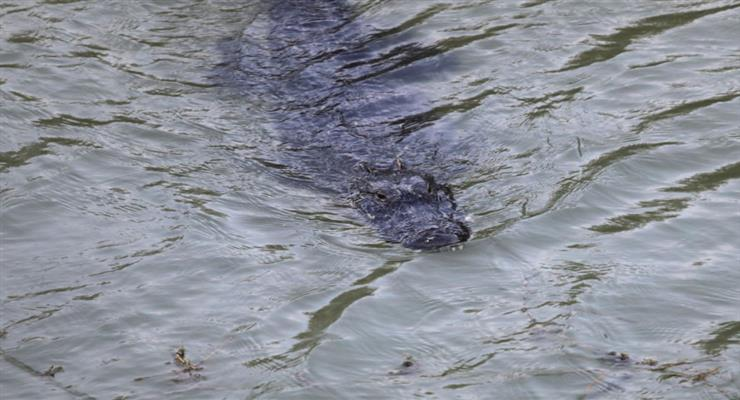 водолаза поранив крокодил