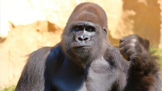 горила напала на співробітницю