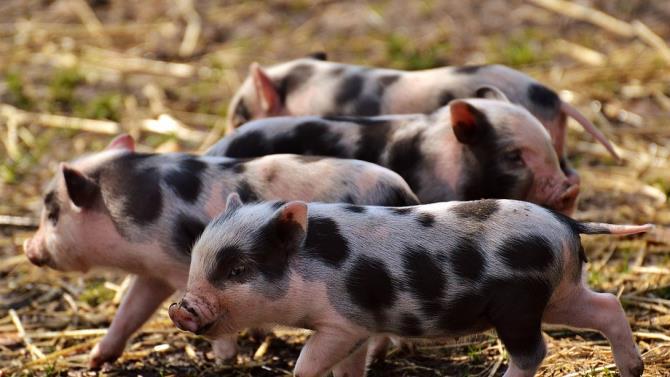 распространение вируса африканской чумы у свиней