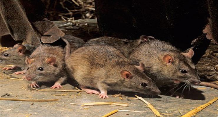 Чикаго знову очолив ТОП-10 за кількістю щурів