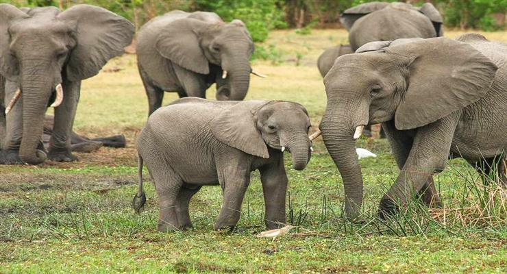 продаж слонів на аукціоні
