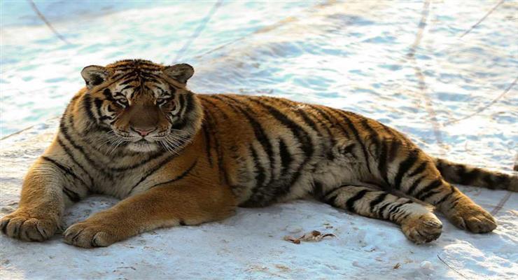 спіймана тигриця