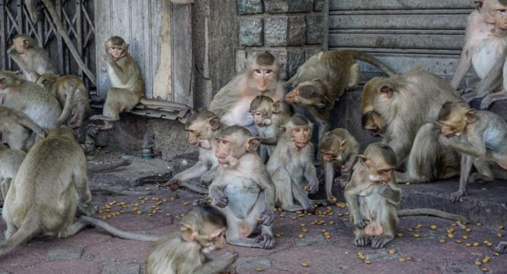 мавпи-мародери на Балі