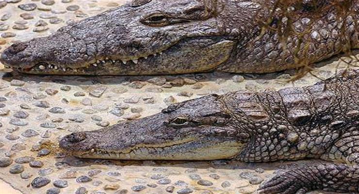 з ферми втекли крокодили