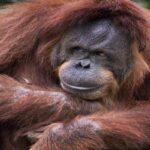 Першому орангутангу, котрий переніс операцію на серці, зробили щеплення від коронавіруса