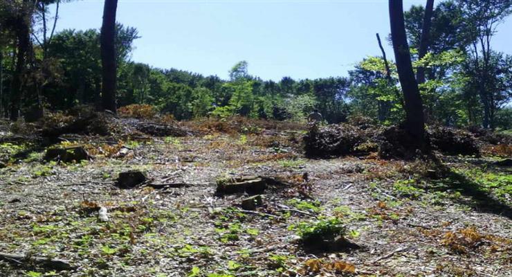 Польща відновлює лісозаготівлі в Біловезькій пущі