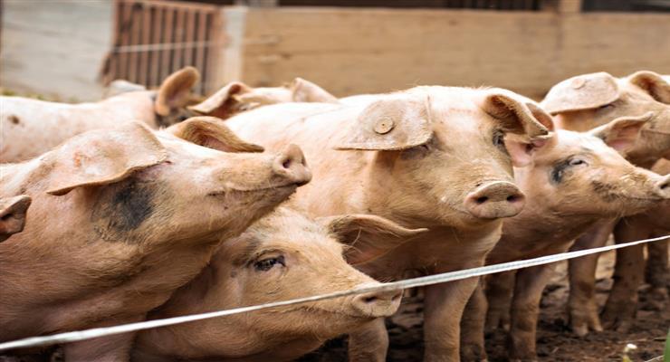 спалах чуми у свиней