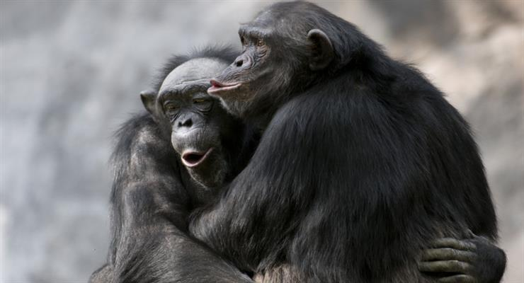 шимпанзе в Zoom