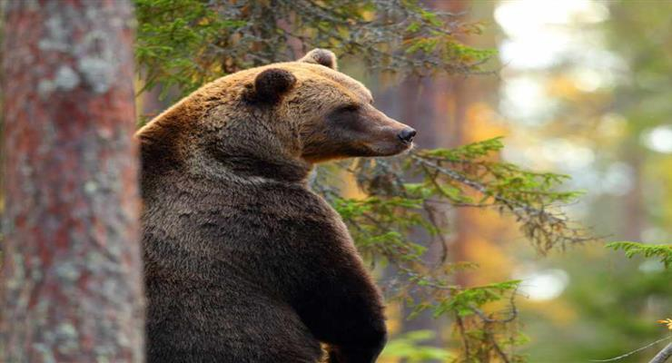 медведь убил человека
