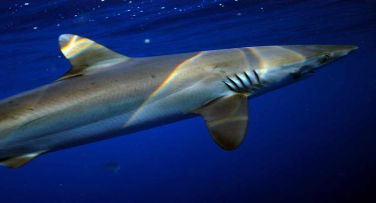 акулам загрожує скорочення популяції