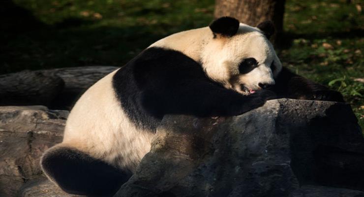 панда народила близнюків