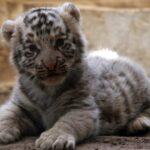 У зоопарку Гавани з'явився білий тигр