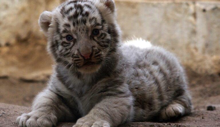в зоопарку Гавани з'явився білий тигр