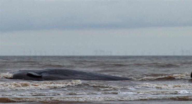 порятунок горбатіх китів з риболовних снастей