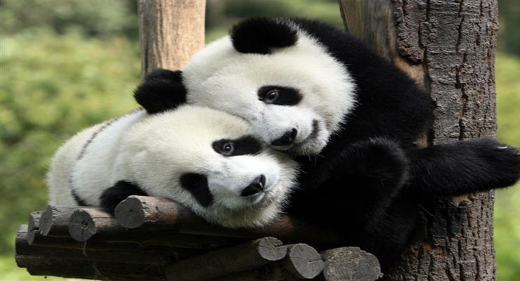 панди більше не вимираючий вид