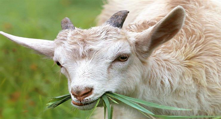 кіз доставили на Манхеттен для боротьби з бур'яном