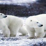 Найбільші породи ведмедів в світі