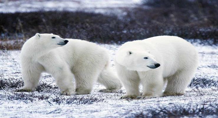 рейтинг найбільших ведмедів