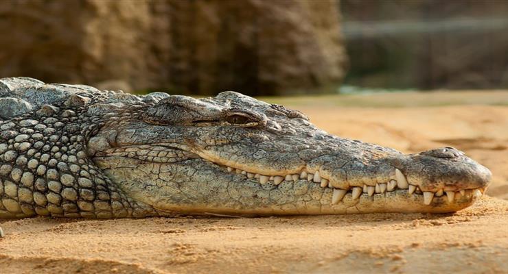 китайці в Індонезії вбили крокодила