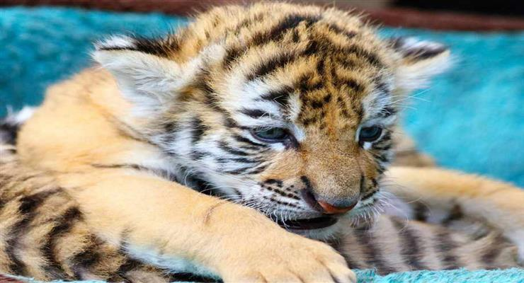 бенгальський тигр народився в зоопарку Нікарагуа