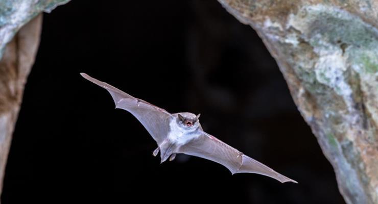 Дослідники кажанів шукають джерело COVID-19 в Камбоджі
