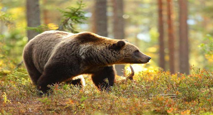 ведмідь змусив закрити популярний природний парк недалеко від Пріштіни
